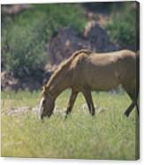 Grazing Wild Mustang  Canvas Print