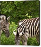 Grazing Zebras Canvas Print