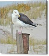 Great Black Backed Gull - Larus Marinus Canvas Print