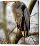 Great Blue Heron 1 Canvas Print