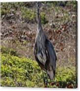 Great Blue Heron - 7 Canvas Print