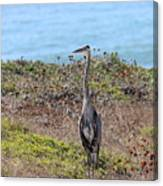 Great Blue Heron - 9 Canvas Print