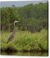 Great Blue Heron Along Cedar Creek Canvas Print