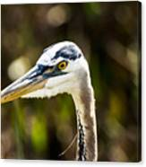 Great Blue Heron At Green Cay Canvas Print