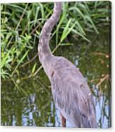 Great Blue Heron Closeup Canvas Print