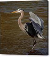 Great Blue Heron - Flooded Creek Canvas Print
