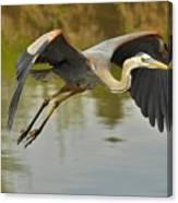 Great Blue Heron Flying Across Lake Canvas Print