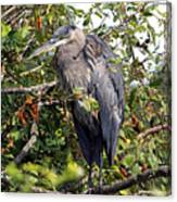 Great Blue Heron In A Tree Canvas Print