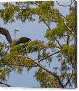 Great Blue Heron In Cypress  Canvas Print