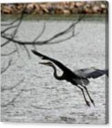 Great Blue Heron In Flight 6 Canvas Print