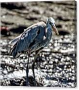 Great Blue Heron In Galapagos Canvas Print