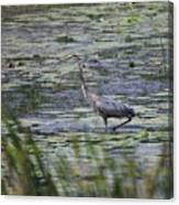 Great Blue Heron In Maine  Canvas Print