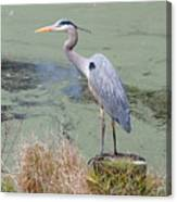 Great Blue Heron Near Pond Canvas Print