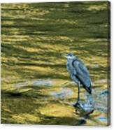 Great Blue Heron On A Golden River Canvas Print