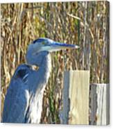 Great Blue Heron On Guard Canvas Print