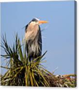 Great Blue Heron On Nest In A Palm Tree Canvas Print