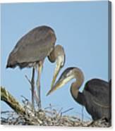 Great Blue Heron Pair Canvas Print