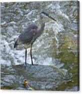 Great Blue Heron Standing In Stream Canvas Print