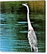 Great Blue Heron Standing Tall Canvas Print