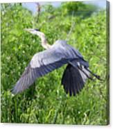 Great Blue Heron Takeoff Canvas Print