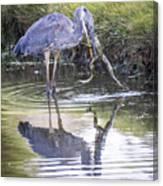 Great Blue Heron Vs Huge Frog Canvas Print