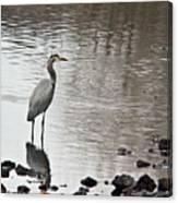 Great Blue Heron Wading 2 Canvas Print