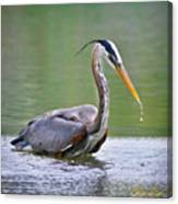 Great Blue Heron Wading Canvas Print