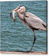 Great Blue Heron Walking With Fish #2 Canvas Print