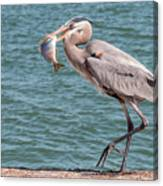 Great Blue Heron Walking With Fish #3 Canvas Print