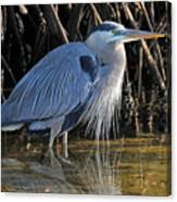 Great Blue Heron With Beard Canvas Print