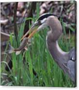 Great Blue Heron With His Catch Canvas Print