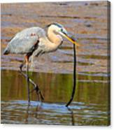 Great Blue Heron Wrestles A Snake Canvas Print