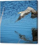 Great Blue In Flight #3 Canvas Print