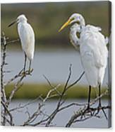 Great Egret And Snowy Egret Perched Canvas Print
