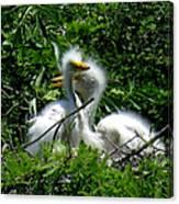 Great Egret Chicks 1 Canvas Print