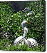 Great Egret Chicks 2 Canvas Print