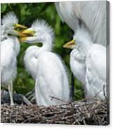 Great Egret Chicks Canvas Print
