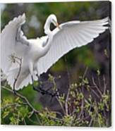Great Egret Coming In For Landing Canvas Print