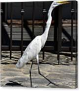 Great Egret In The Neighborhood Strutting 1 Canvas Print