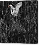 Great Egret Inthe Marsh Canvas Print