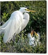 Great Egret Mom And Babies Canvas Print