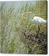 Great Egret Through Reeds Canvas Print