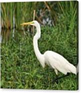 Great Egret Walking Canvas Print