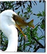 Great Egret With Catch 2 Canvas Print