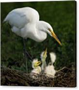 Great Egret With Chicks Canvas Print