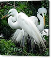 Great Egrets 10 Canvas Print