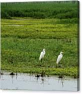 Great Egrets Canvas Print