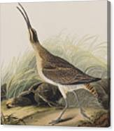 Great Esquimaux Curlew Canvas Print
