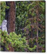 Great Gray Owl Perched Canvas Print