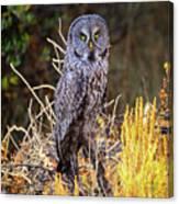 Great Grey Owl Portrait Canvas Print